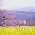 菜の花とソメイヨシノ(1)