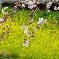菜の花とソメイヨシノ(2)