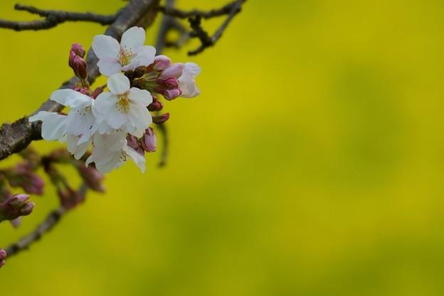 菜の花とソメイヨシノ (3)