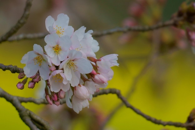 菜の花とソメイヨシノ(4)