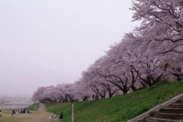 桜並木 犀川  黄砂(;・∀・)