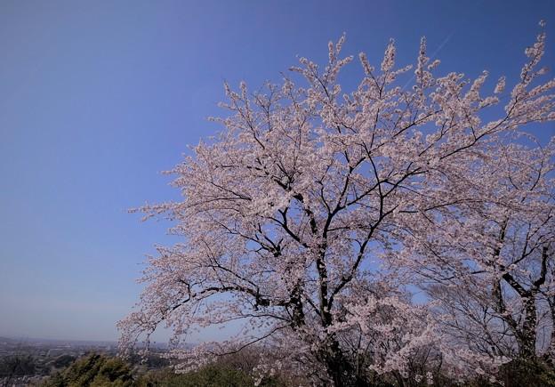 青空と満開の桜