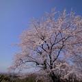 Photos: 青空と満開の桜