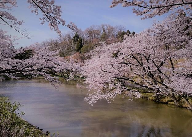 大池と満開の桜