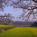 菜の花と満開の桜
