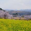 菜の花と満開の桜並木