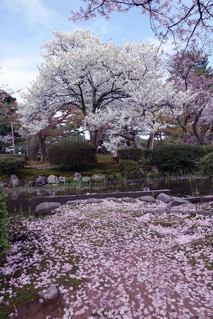 Photos: 兼六園 白い八重桜と散ったソメイヨシノ