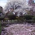 兼六園 白い八重桜と散ったソメイヨシノ