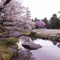 兼六園 旭桜