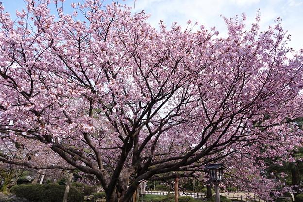 満開の兼六園熊谷桜