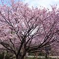Photos: 満開の兼六園熊谷桜