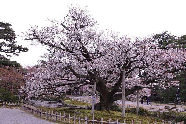兼六園 満開の旭桜(2代目)