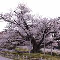Photos: 兼六園 満開の旭桜(2代目)