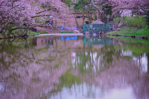 桜に包まれて 白鳥 コロちゃん