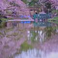 Photos: 桜に包まれて 白鳥 コロちゃん