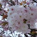 Photos: 八重桜
