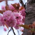 八重の桜  関山