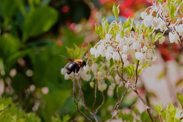 クマバチくん ブンブン(1)