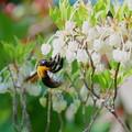 クマバチくんブンブン(2)