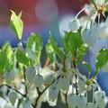 Photos: ドウダンツツジの花