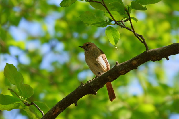 鳥 (1)  ジョウビタキ♀?