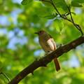 鳥 (1)  ジョビ子ちゃん?