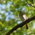 鳥 (2) ジョウビタキ♀