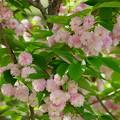 満開の兼六園菊桜(1)