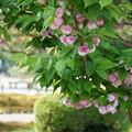 兼六園菊桜(2)