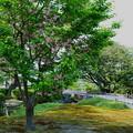 兼六園菊桜(3)