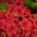 のとキリシマに魅了され 小さな黒い蜂さん