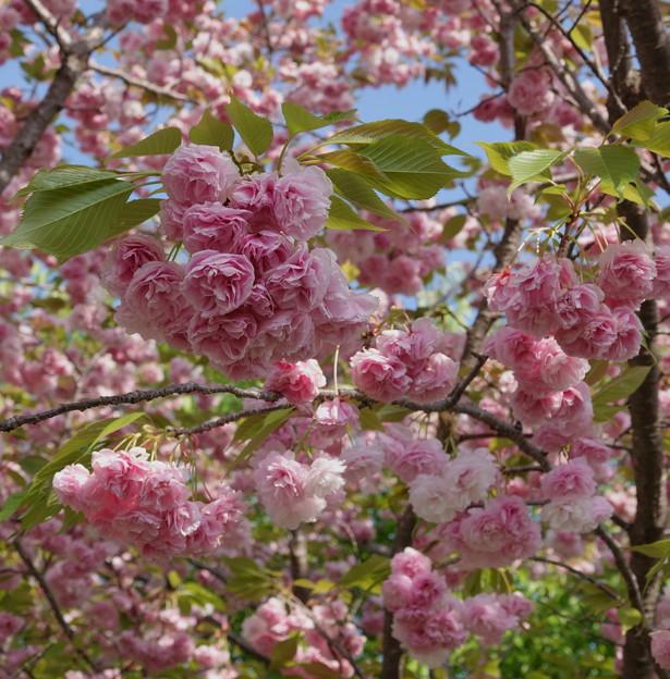 薔薇のような八重桜 (1)