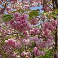Photos: 薔薇のような八重桜 (1)