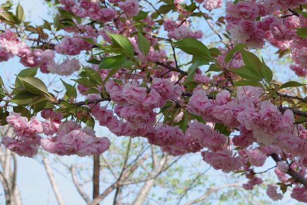 薔薇のような八重桜(2)
