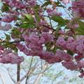 Photos: 薔薇のような八重桜(2)