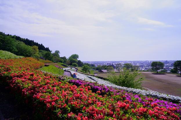 大乗寺丘陵公園  満開のツツジ(1)