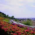 Photos: 大乗寺丘陵公園  満開のツツジ(1)