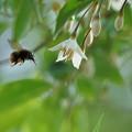 Photos: エゴノキの花にビロードツリアブくん 突進