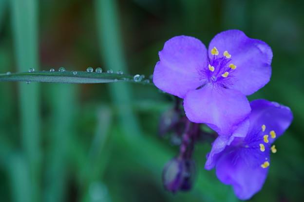 紫露草 。゚・。・o゚・。゚・