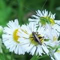 小さな虫(ヤブキリの幼虫?)  ハルジオンのハート^^
