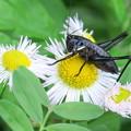 黒い小さな虫(ヒメギスの幼虫?)