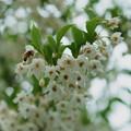 エゴノキの花 ハッチ