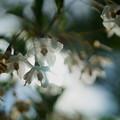 Photos: エゴノキの花