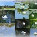 奥卯辰山健民公園  スイレンと白鳥