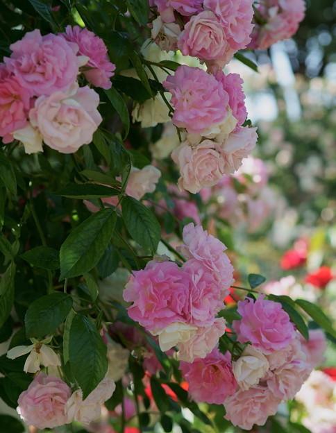 ツル薔薇(1)