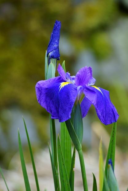 初紫 「はつむらさき」