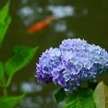 アジサイ 鯉