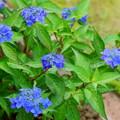 ヤマアジサイ・藍姫