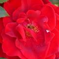 バラの花芯にアブ?くん