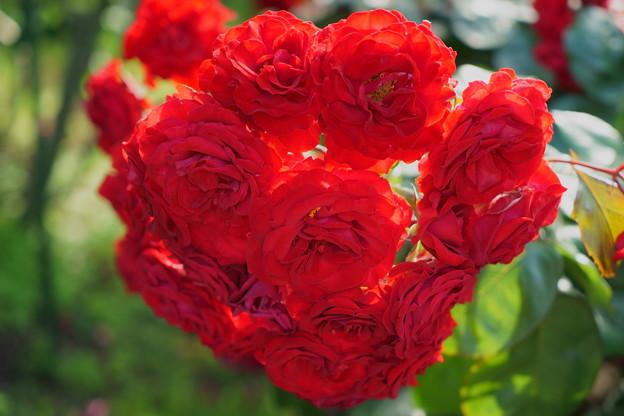 真紅のバラの花束?